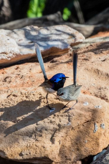 a male and a female fairy wren perched on a large rock
